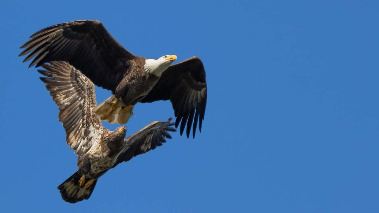 Eagles and Hawks
