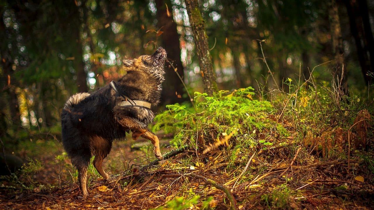 Finish Lapphund