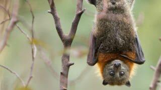 How Bats Hang Upside Down