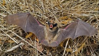 How Bats Sound Like
