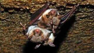 How Long Bats Live