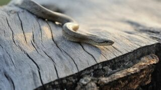 How Long Snakes Live