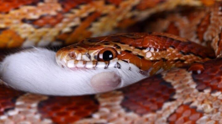 How Often Do Snakes Eat? I Know!