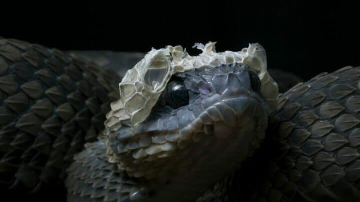 How Often Do Snakes Shed? Let Me See…