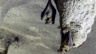 How do Bats Poop