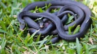 How do Snakes Mate