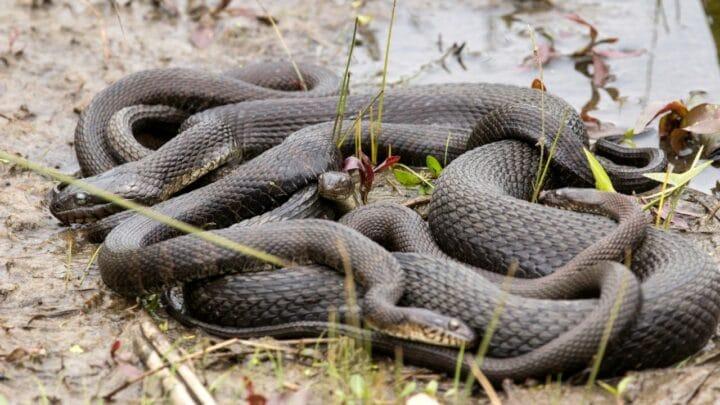 How Do Snakes Reproduce? Interesting!