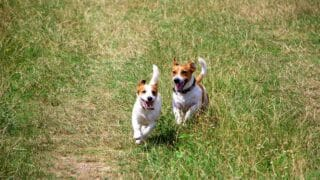 How to Get Two Dogs to Mate