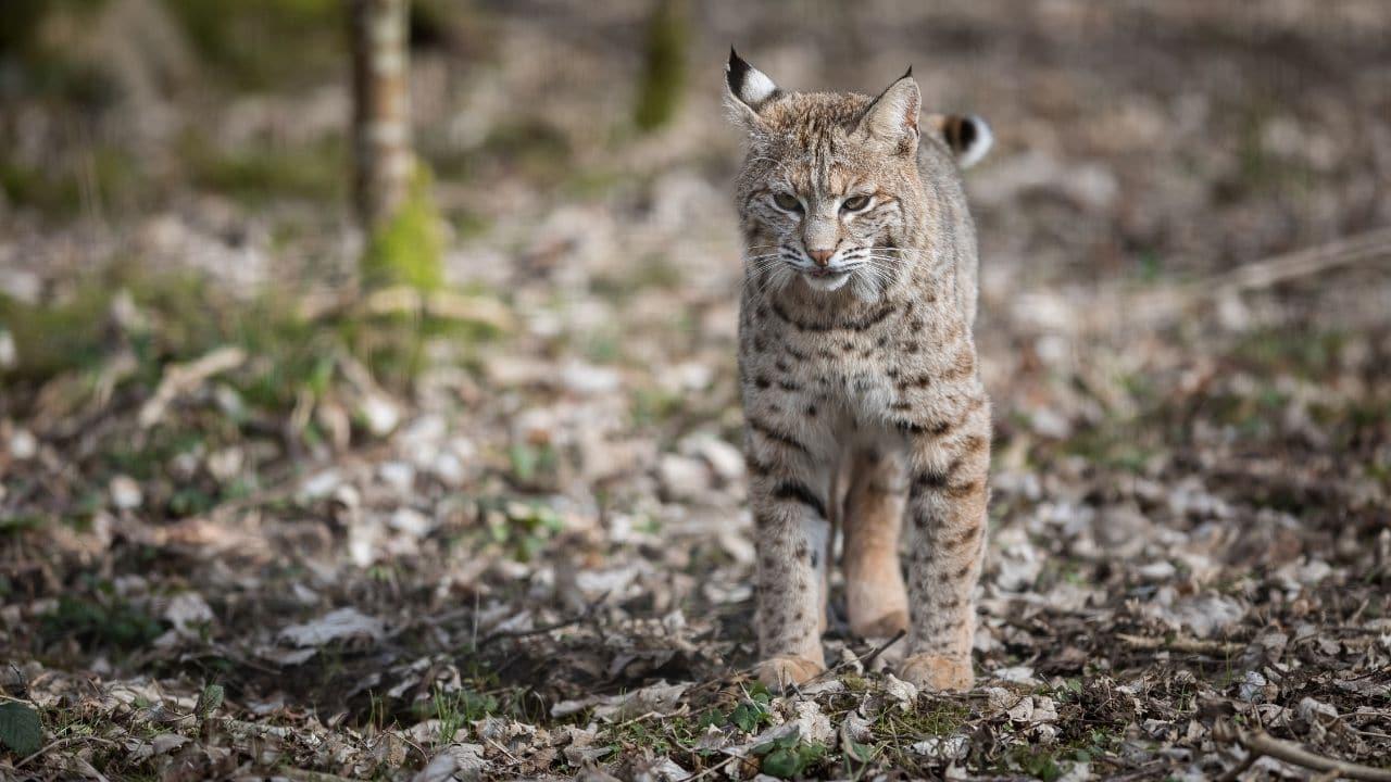 Lynx and Bobcats