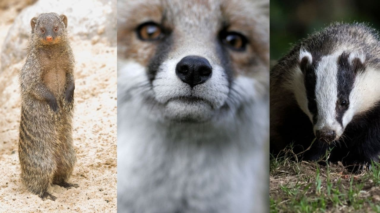 Mongooses, Foxes, and Badgers