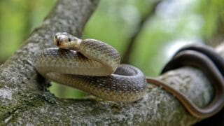 Snake Communicating