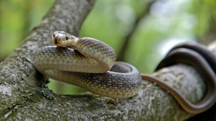 How Do Snakes Communicate? Now I Know!