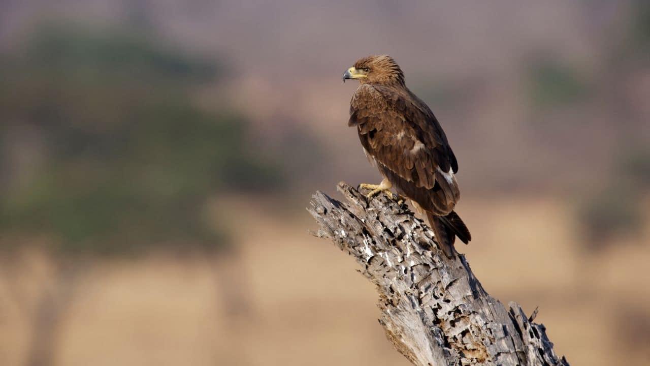 Snake Eagles