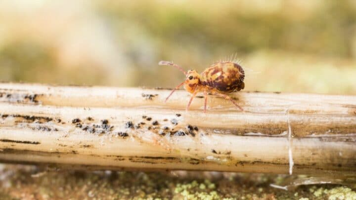What do Springtails Eat? Oh!