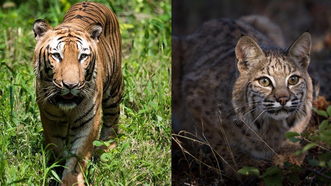 Tigers and Bobcats