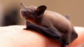 What Baby Bats Look Like
