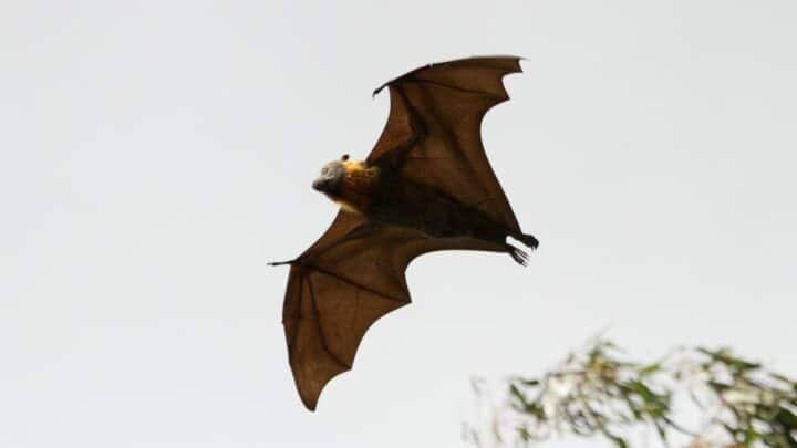 What Do Bats Do In the Winter? Oh! Really?