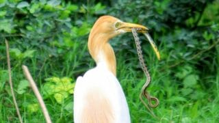 What Birds Eat Snakes
