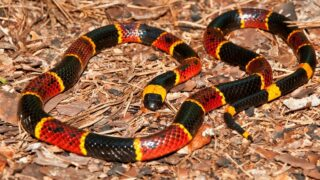 What Coral Snakes Eat