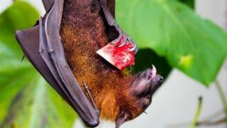 What Do Fruit Bats Eat