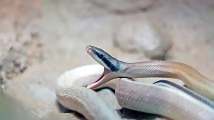 Why Do Snakes Yawn? I See!
