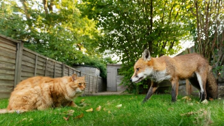 Will a Fox Eat a Cat? Maybe? Let's See!