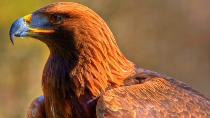 Animals Eating Eagles — Predators to Know