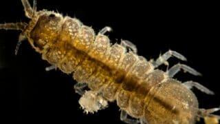 Aquatic Isopods