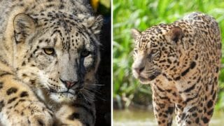 Are There Any Albino Leopards or Jaguars