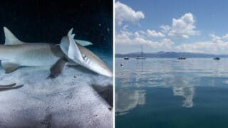 Are There Sharks in Lake Tahoe