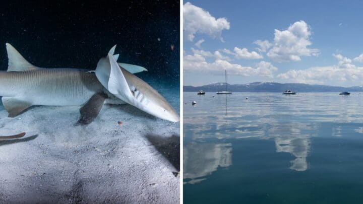 Are There Sharks in Lake Tahoe? Let's See!