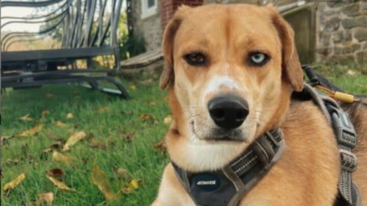 How The Mixing of a Beagle and a Husky Looks Like – The Beaski!