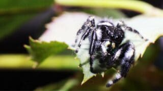 Black Spider with White Dot on its Back