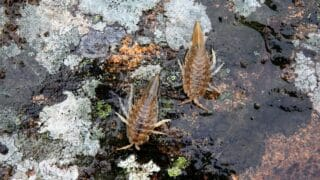 Breeding Isopods