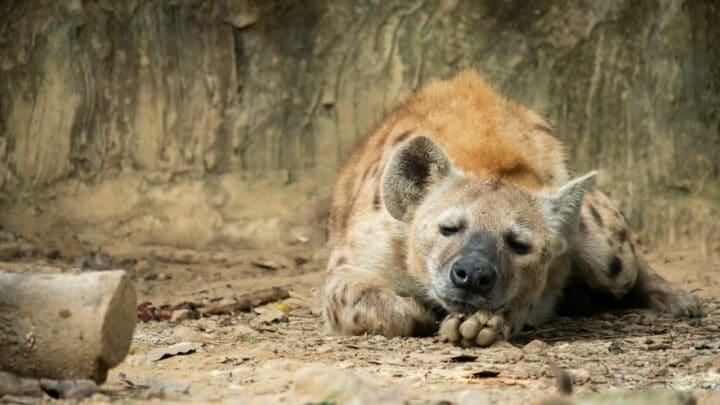 Can You Keep a Hyena as a Pet? Yes or No?