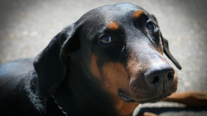 Can a Purebred Doberman Have Blue Eyes? 3 Reasons Why It is Possible!