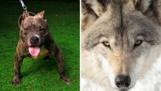 Could a Pitbull Take on a Wolf in a Fight