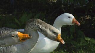 Do Geese Have Teeth