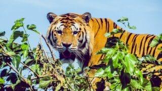 Do Tigers Climb Trees