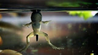 How Do Frogs Breathe