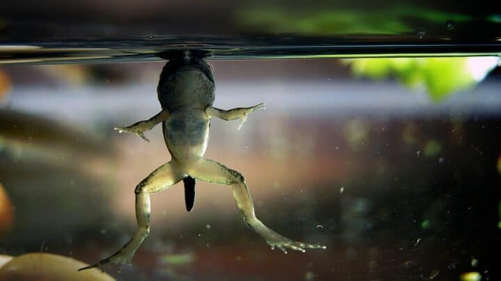 How Do Frogs Breathe? Fascinating!
