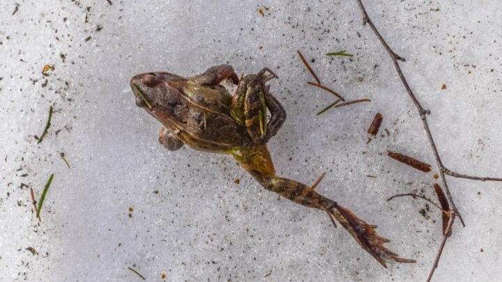 How Frogs Hibernate — Oh! There They Are