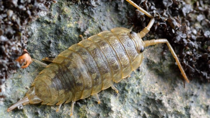 How Do Isopods Respire? Oh, Interesting!