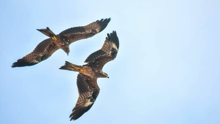 How Fast Eagles Fly – Wow!