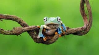 How Frogs Hear
