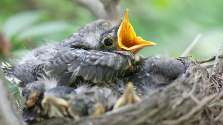 How Long Baby Robins Stay in the Nest – Aha!
