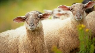 How a Herd and a Flock of Sheep Differ