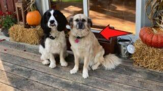 How a Pug and Golden Retriever Mix Looks Like