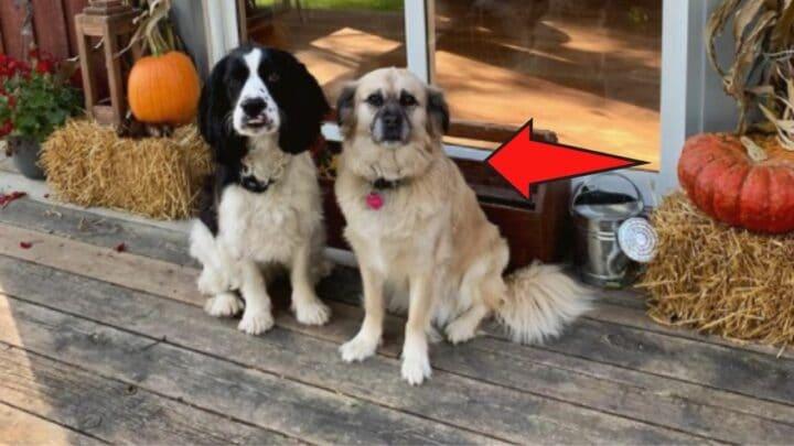 How a Pug and Golden Retriever Mix Looks Like — Wow!