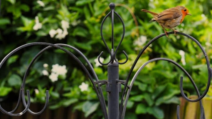 How to Attract Robins — 5 Birdlover Tips